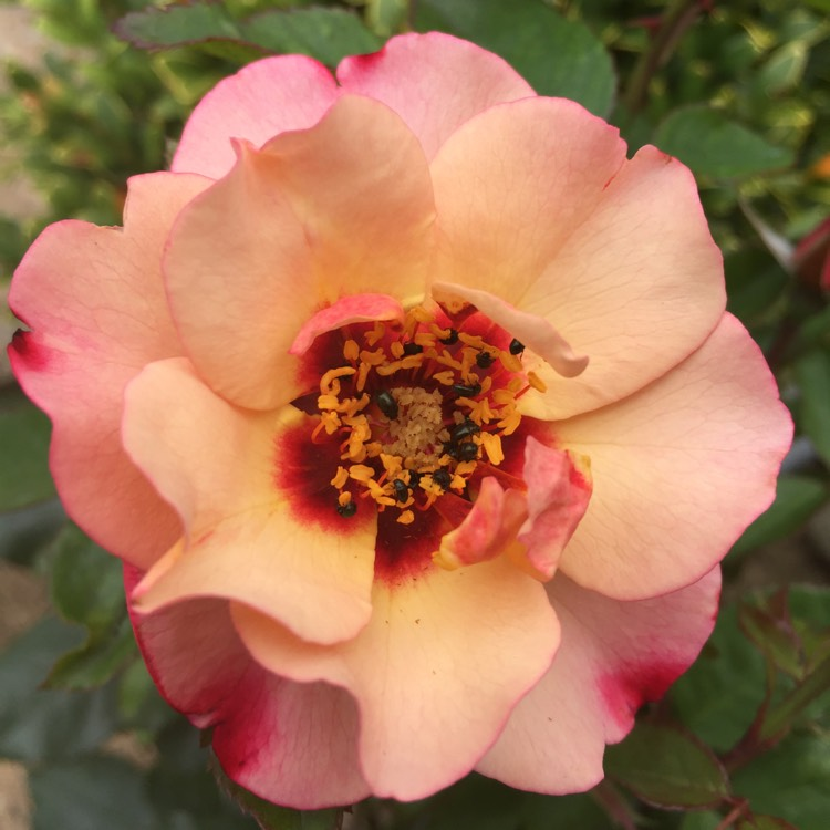 Plant image Rosa 'Cheweyesup' syn. Rosa 'For Your Eyes Only'