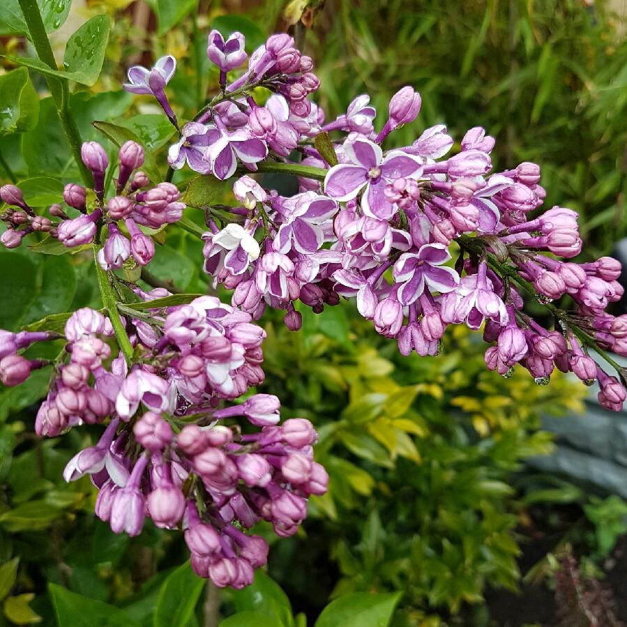 Syringa vulgaris 39 sensation 39 lilac 39 sensation 39 uploaded - Syringa vulgaris ...