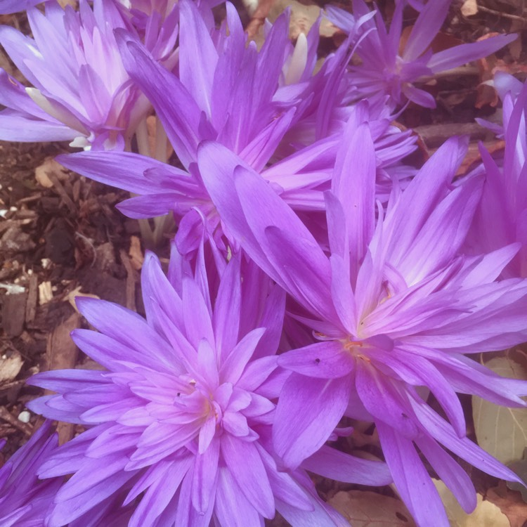 Plant image Colchicum 'Waterlily'