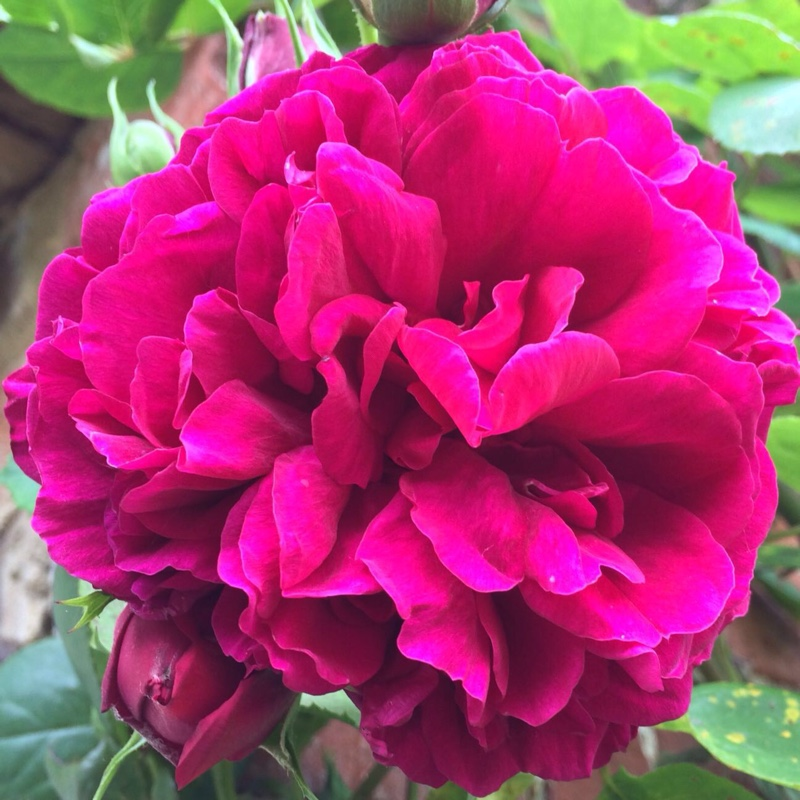 Plant image Rosa 'Tess of the D'urbervilles'