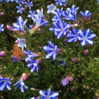 Lithodora diffusa' White Star'