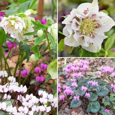 Christmas Rose 'Double Ellen White Spotted'