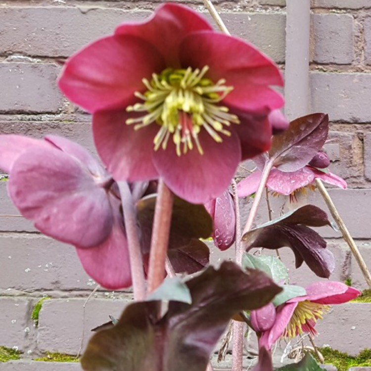 Plant image Helleborus 'Abcrd02' (Rodney Davey Marbled Group) syn. Helleborus 'Frostkiss Anna's Red'