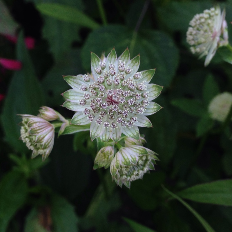 Plant image Astrantia (Unknown Variety)