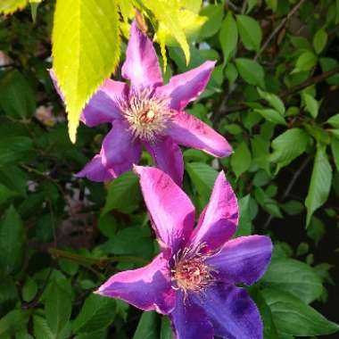 Clematis (Pruning Group 2 - Large Flowering Cultivars)