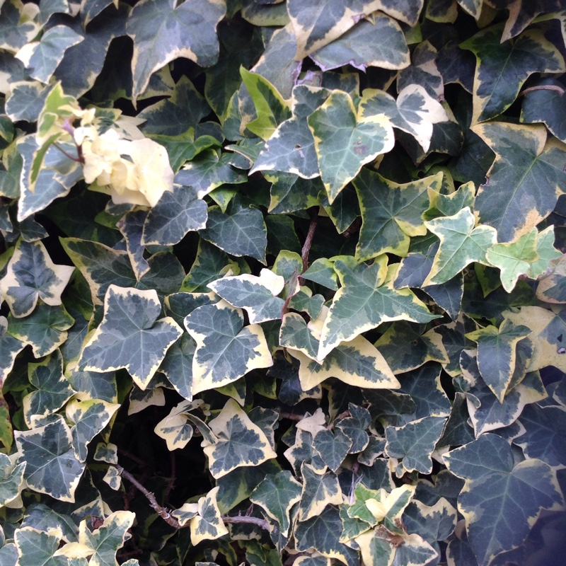 Plant image Hedera helix