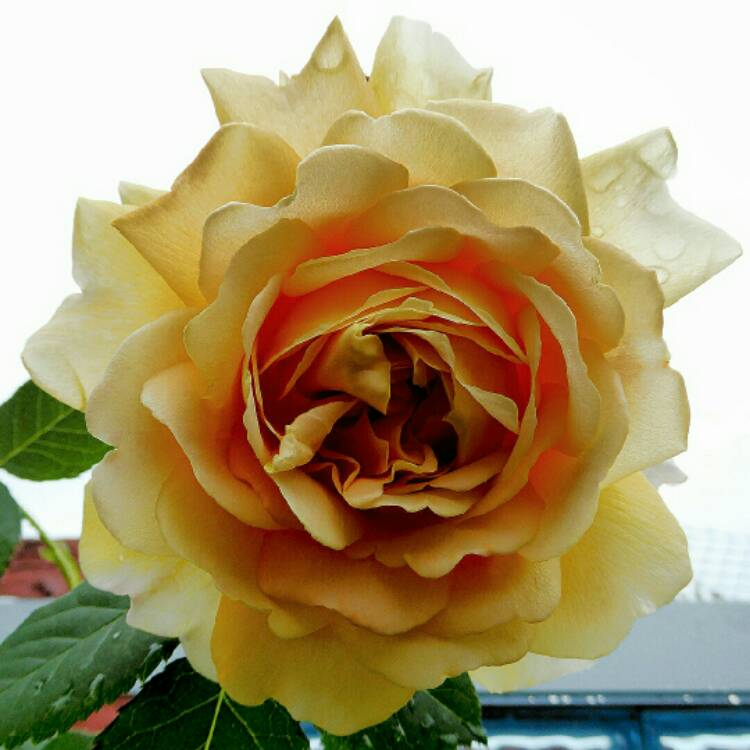Plant image Rosa 'Golden Celebration'