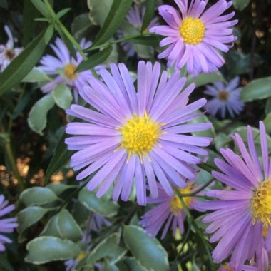 Aster lateriflorus 'Lady In Blue'