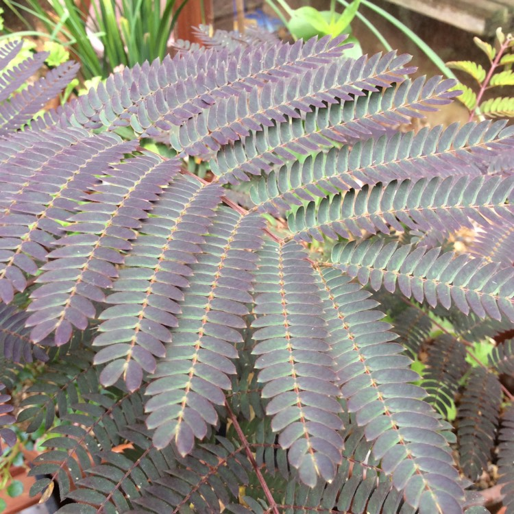 Plant image Albizia julibrissin 'Summer Chocolate'