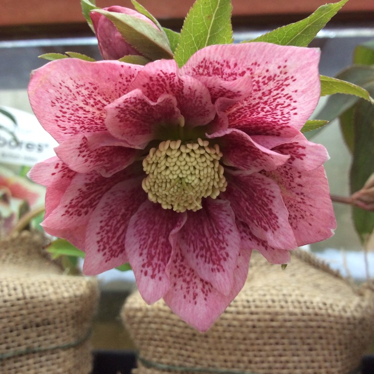 Plant image Helleborus x hybridus 'Harvington Double Pink Speckled'