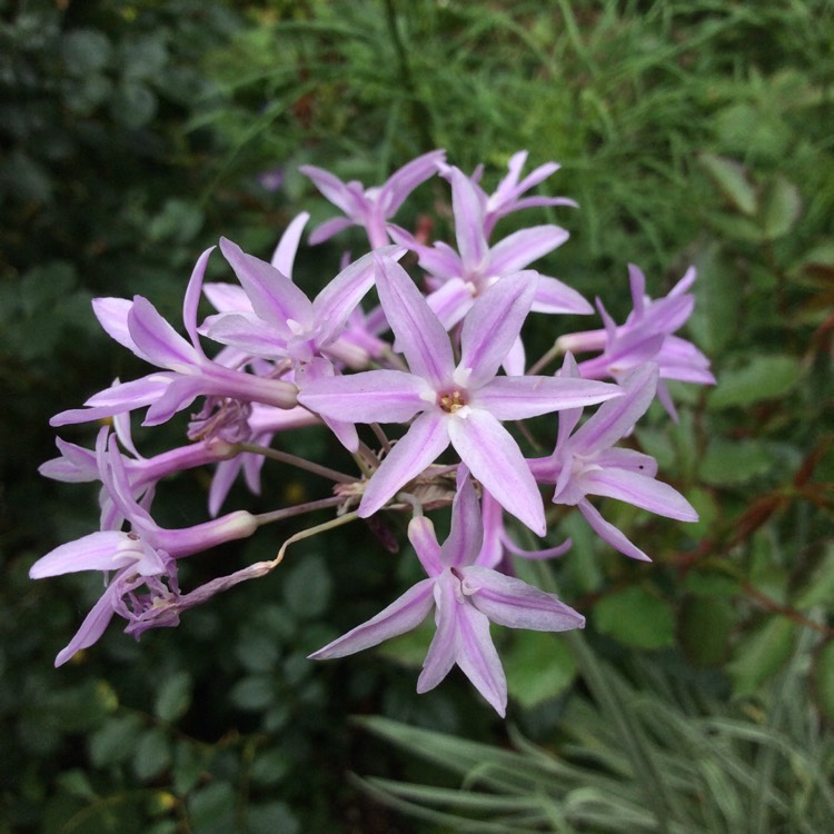 Picture of Live Society Garlic (vari.) aka Tulbaghia violacea 'Silver Lace' Plant Fit 1 Gallon Pot
