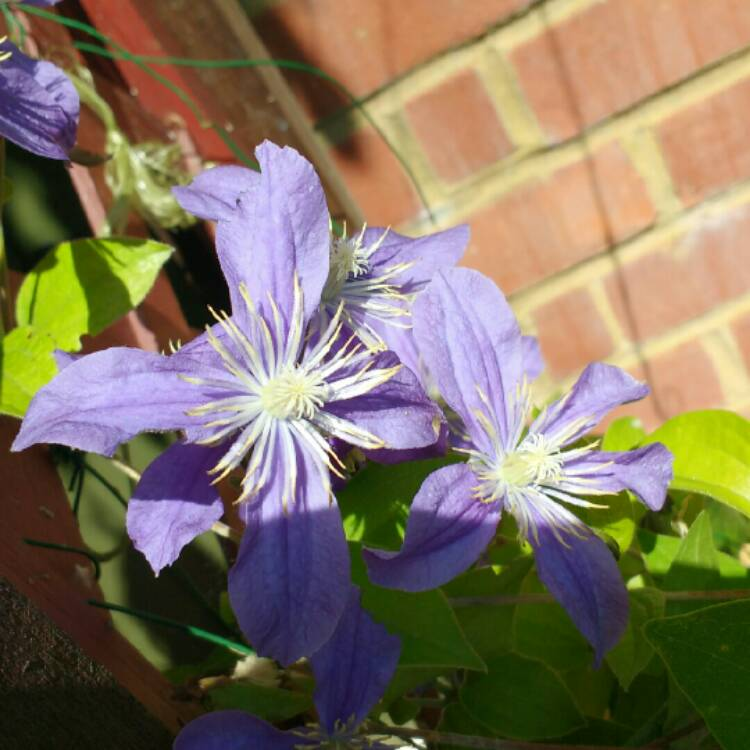 Plant image Clematis 'Arabella' (Integrifolia Group)