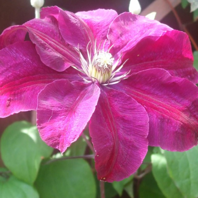 Plant image Clematis montana (unknown variety)