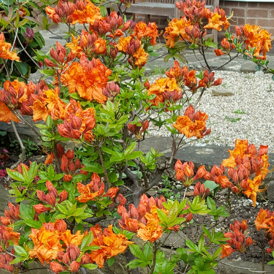 Plant image Rhododendron 'Gibraltar'