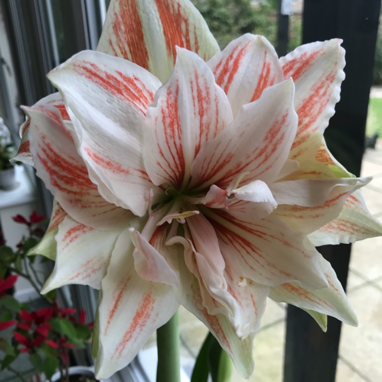 Plant image Hippeastrum (Double Galaxy Group) 'Dancing Queen'