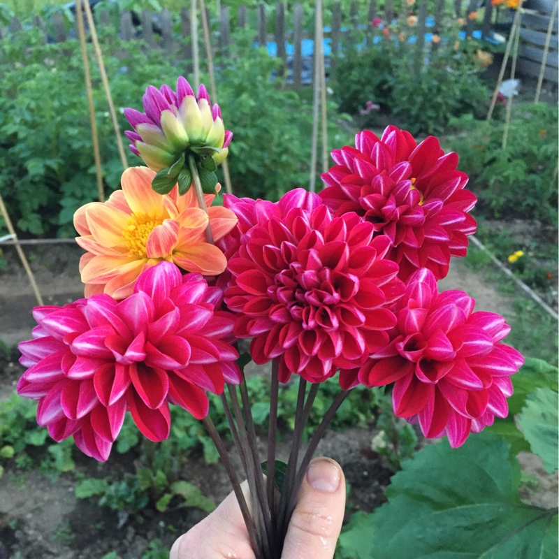 Plant Dahlia (unknown variety)