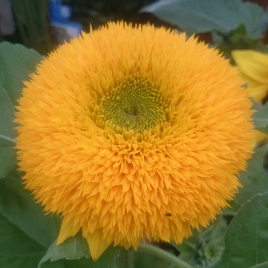 Helianthus annuus 'Teddy Bear'