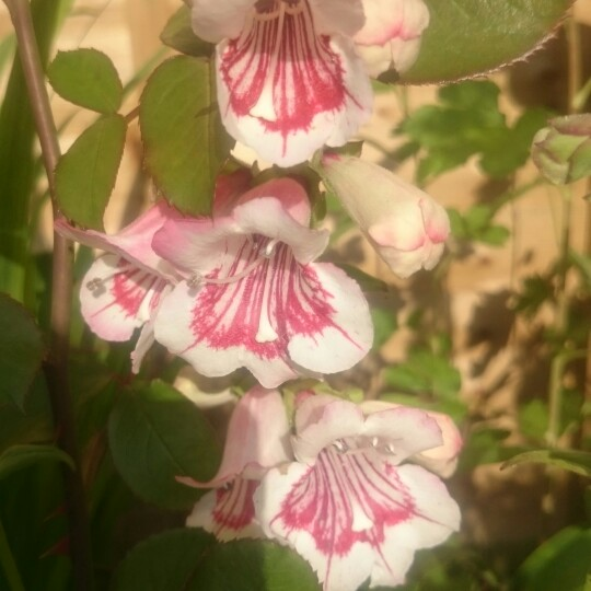 Penstemon 'Bridgesii'