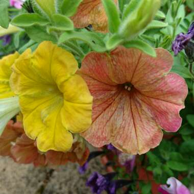 Petunia Cascadia 'Indian Summer'