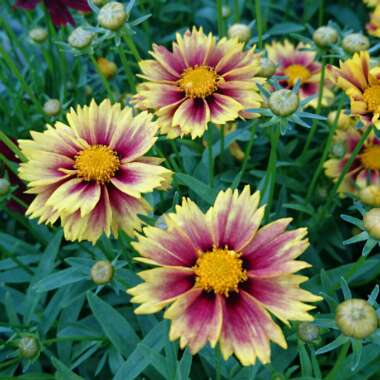 Coreopsis 'Little Bang'