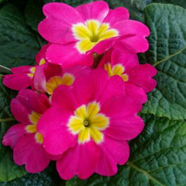 Primula 'Cottage Cream'