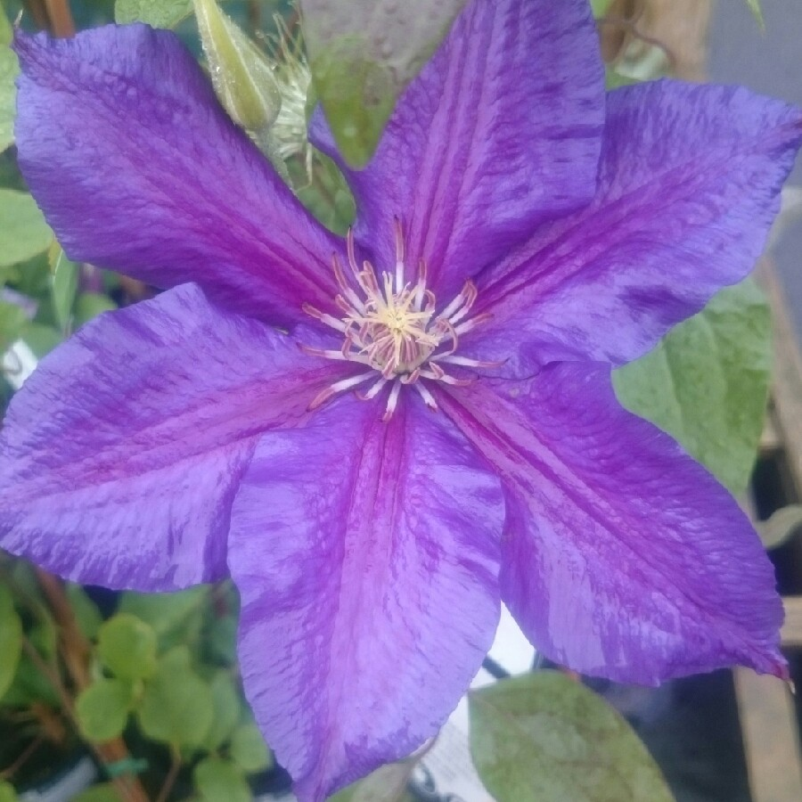Plant image Clematis