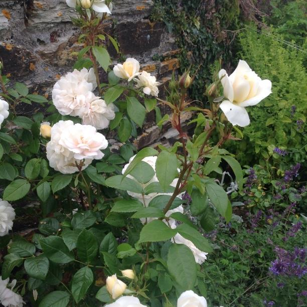 Plant image Rosa 'Champagne Moments'