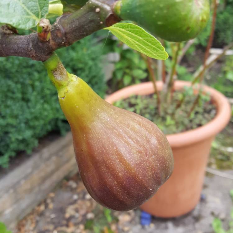 Plant image Ficus carica 'Brown Turkey'