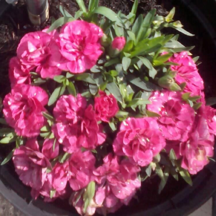 dianthus caryophyllus carnation uploaded by janharrison25. Black Bedroom Furniture Sets. Home Design Ideas