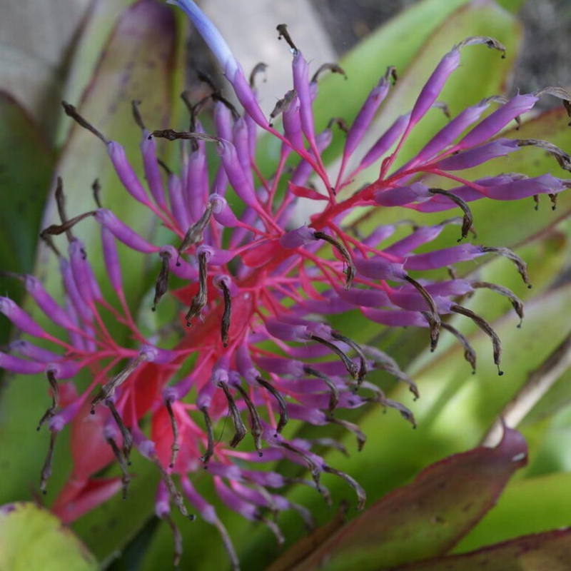 Plant image Bromeliad (unknown variety)