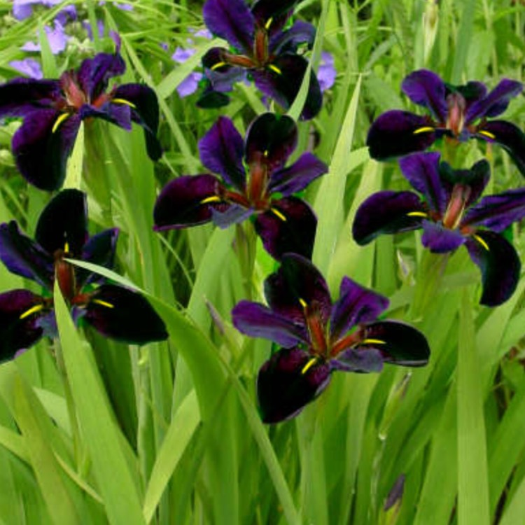 Plant image Iris 'Black Gamecock'