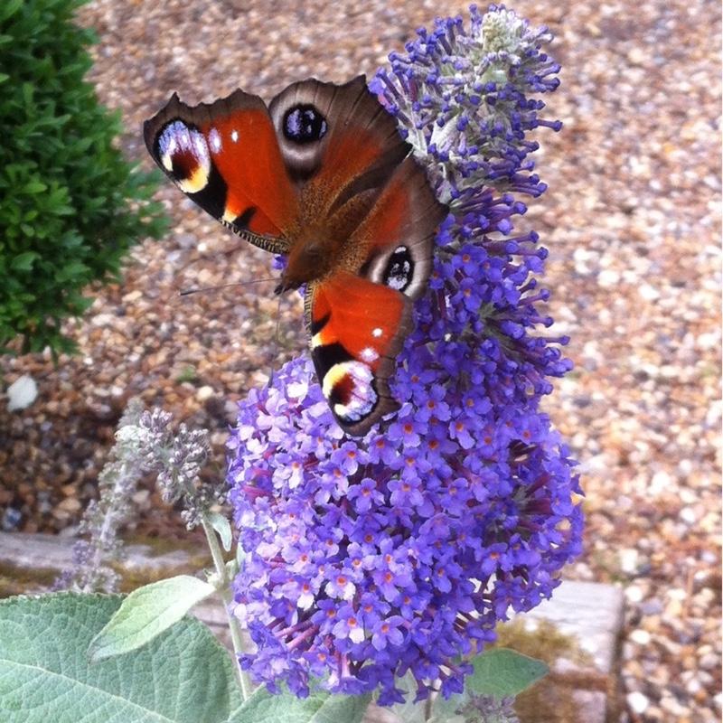 buddleja 39 dreaming purple 39 buddleia 39 dreaming purple 39 uploaded by uragod2me. Black Bedroom Furniture Sets. Home Design Ideas