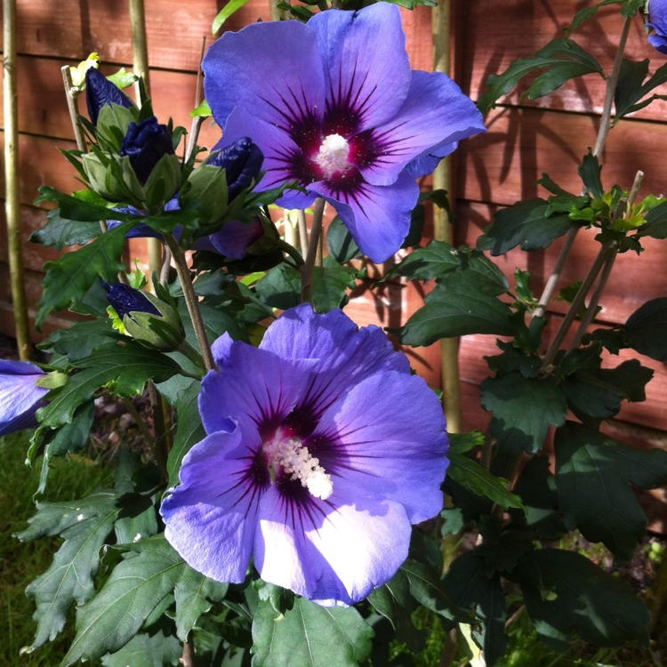 Hibiscus syriacus \'Blue Chiffon\', Rose Of Sharon \'Blue Chiffon ...