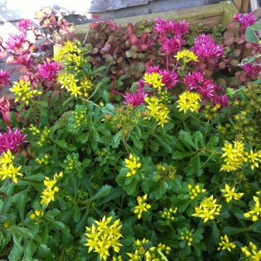 Sedum Golden Queen
