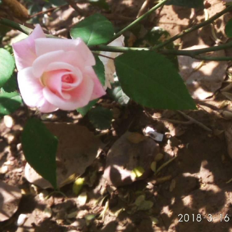 Rosa flower carpet white rose flower carpet white uploaded by plant image 633765 mightylinksfo