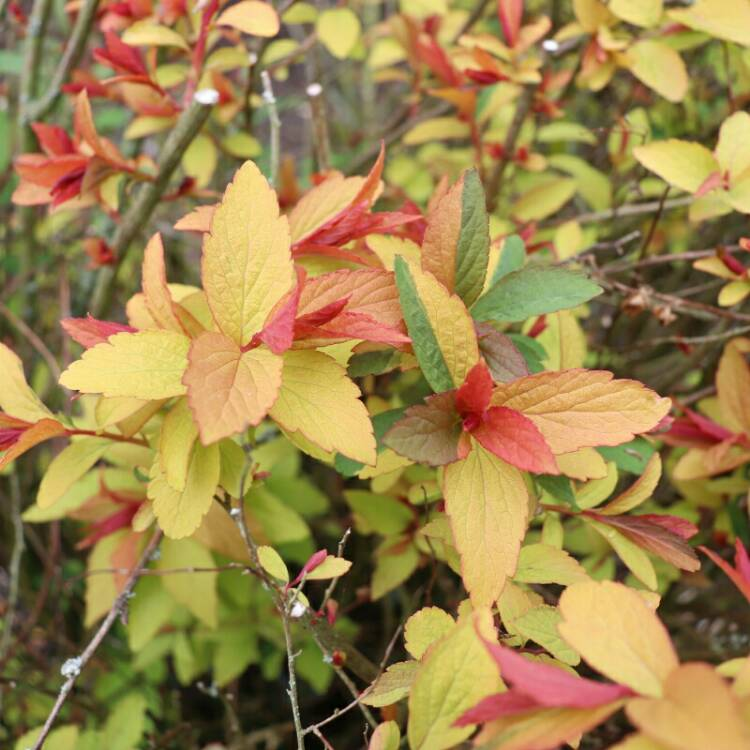 Plant image Spiraea japonica 'Goldflame' syn. Spiraea x bumalda 'Goldflame'