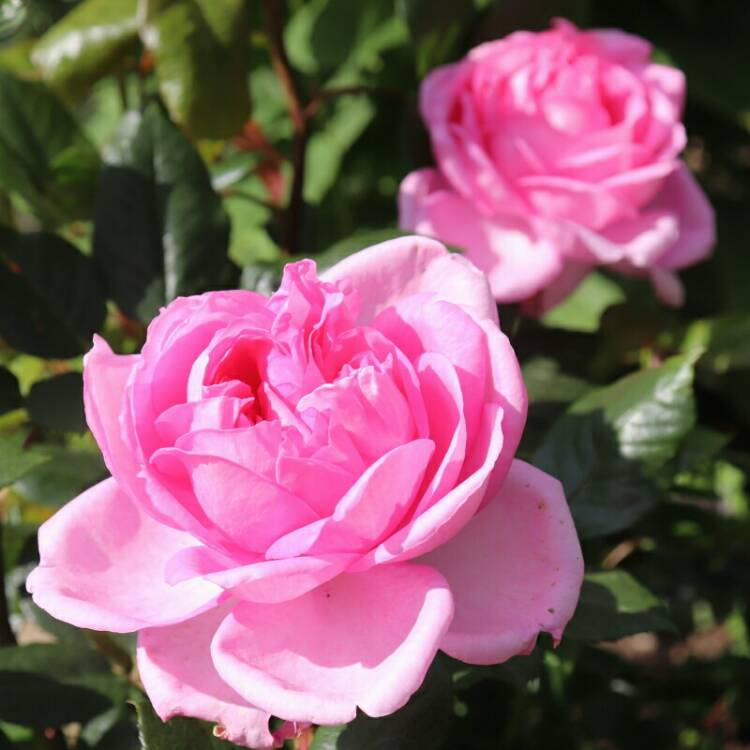Plant image Rosa 'Mum In A Million' syn.  Rosa 'Mille'