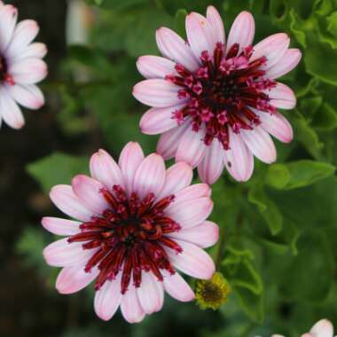 Osteospermum 'Erato Double Rose'