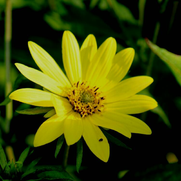 Plant image Helianthus 'Lemon Queen'