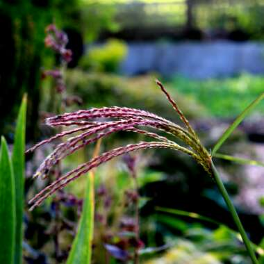 Silver Grass 'Little Zebra'