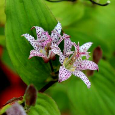 Japanese Toad Lily