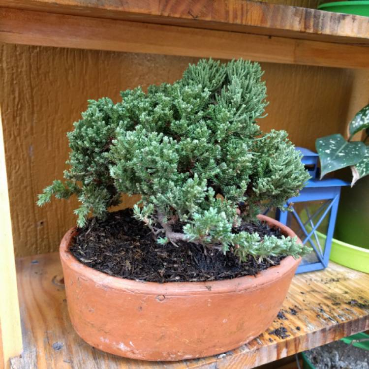Plant image Juniperus chinensis (Bonsai)