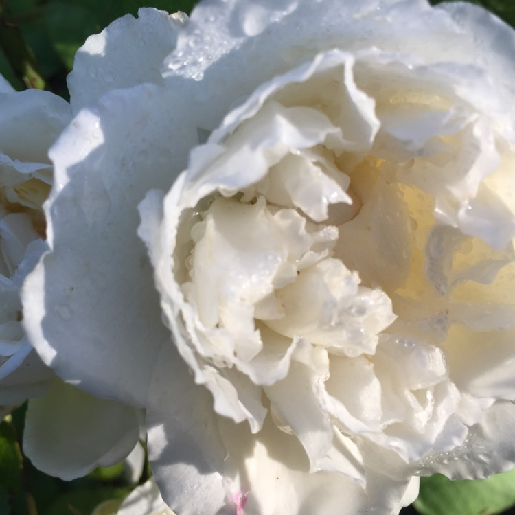 Plant image Rosa 'Winchester Cathedral'