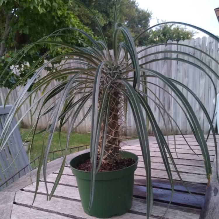 Plant image Pachypodium geayi