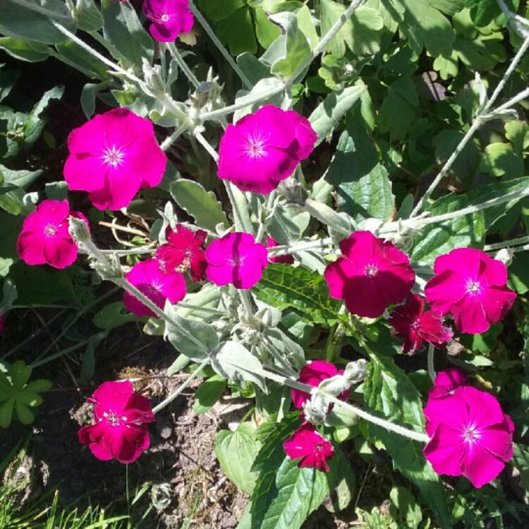 Plant image Lychnis coronaria syn. Agrostemma coronaria syn. Agrostemma tomentosum