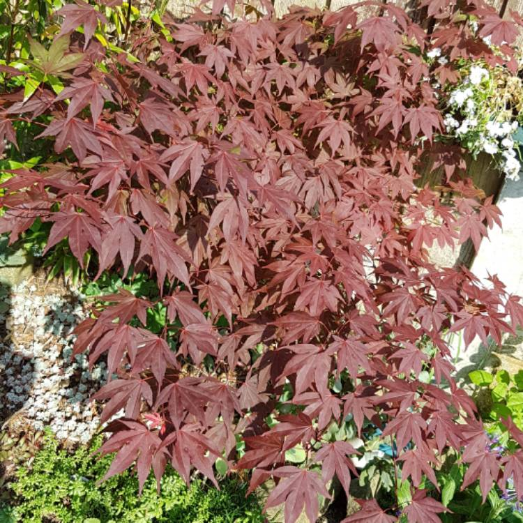 Plant image Acer