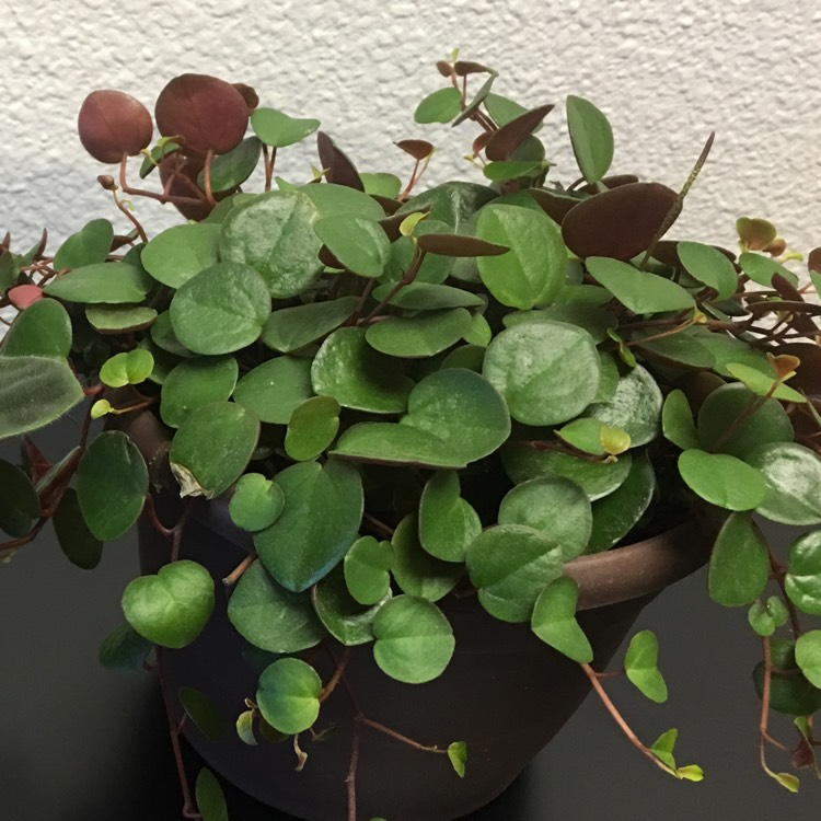 Plant image Peperomia 'Ruby Cascade'