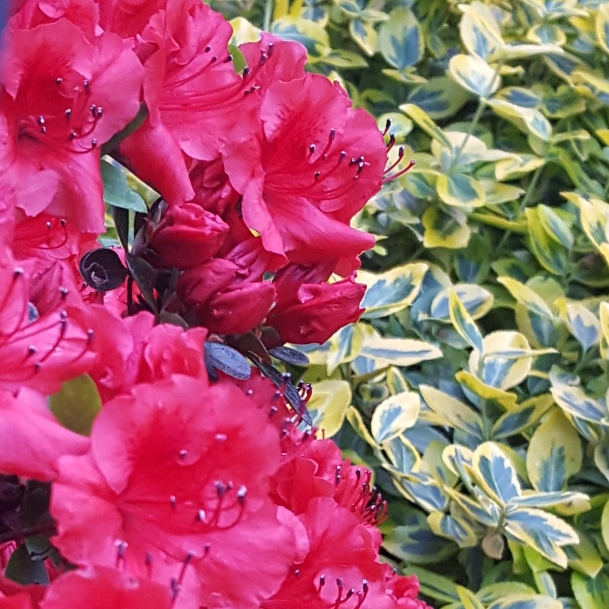 Plant image Rhododendron 'Fireball'