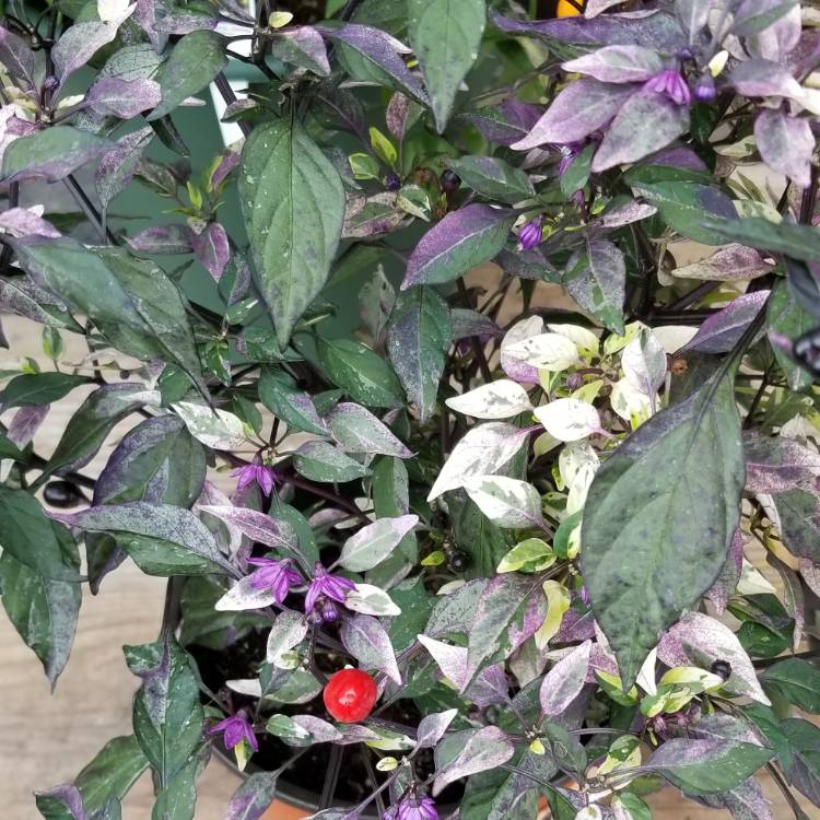 Plant image Capsicum Annuum 'Purple Flash'