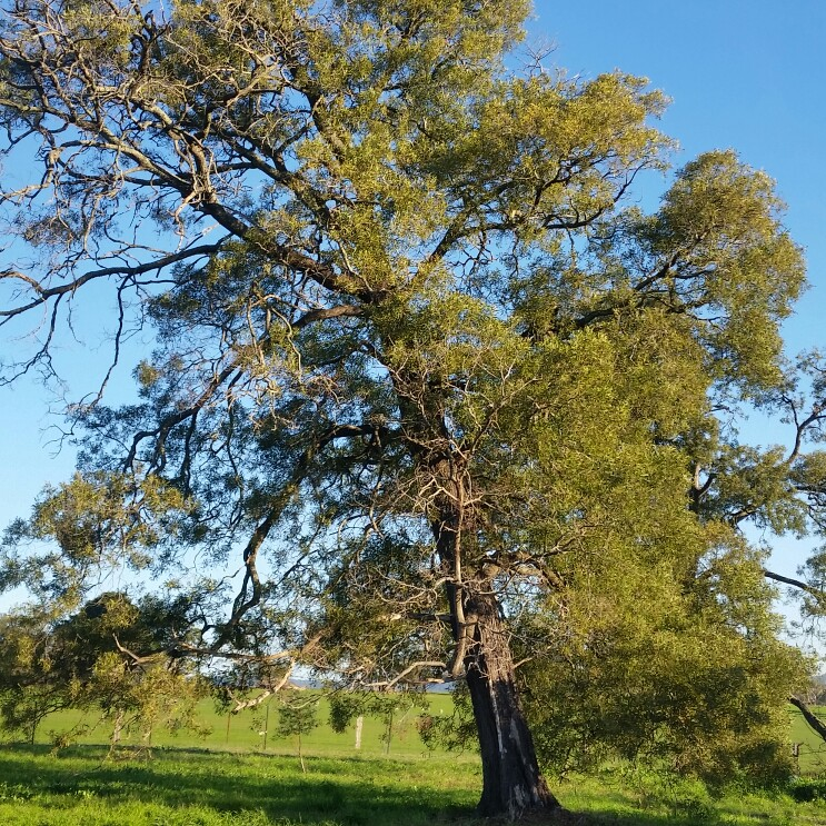 Australian Blackwood Tree